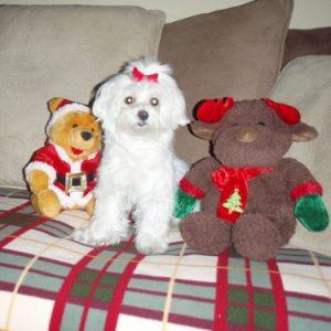 perro bichon maltes blanco con peluches de navidad