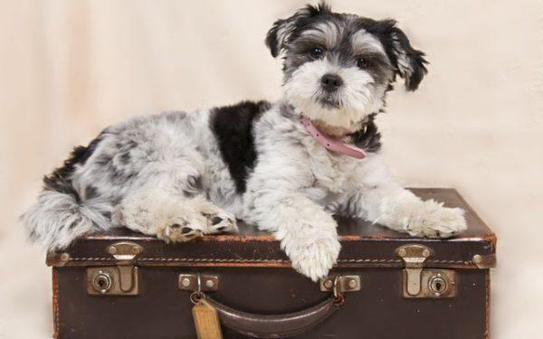 Todo sobre viajar con perros pequeños