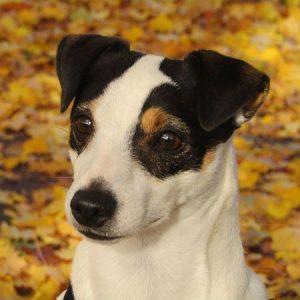 jack russell con hojas de otoño piso