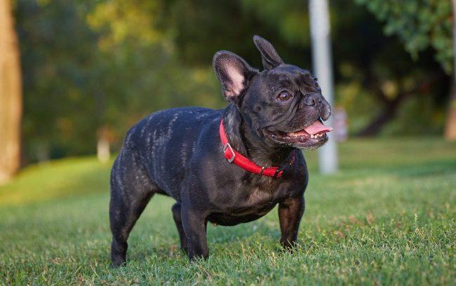 Bulldog Francés o French Bulldog