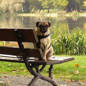 Pug sentado en banco de plaza frente a lago