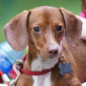 lindo cachorro dachshun acostado con un collar rojo