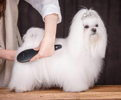 hermosa bichon maltes cepillandole el pelo