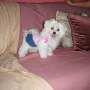 lindo cachorro de bichón maltés en sofá