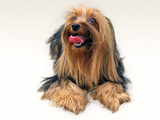 Yorkshire terrier muestra sus dientes