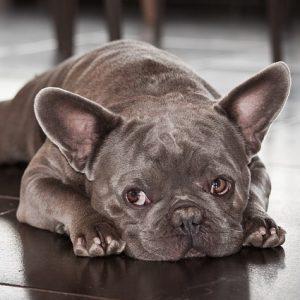 bulldog francés chocolate cachorro acostado
