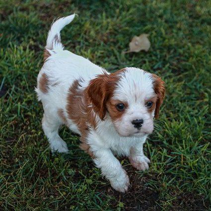 hermoso cachorro de cavalier king charles en grama