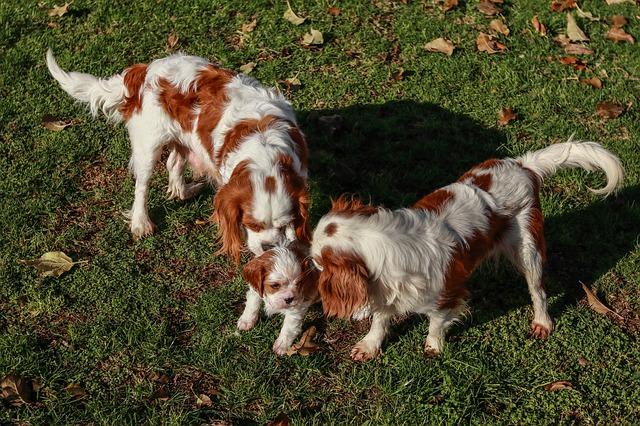 familia de cavalier king charles