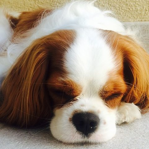 perro cavalier king cachorro lindo durmiendo