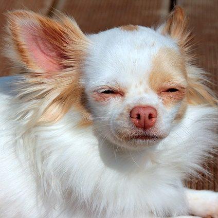 cachorro blanco de chihuahua al sol
