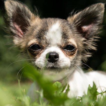 chihuahua orejas grandes