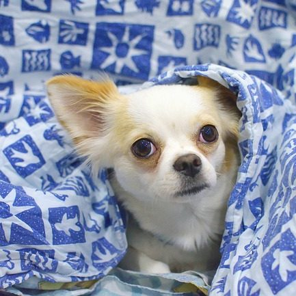 chihuahua bebé asoma del cobertor
