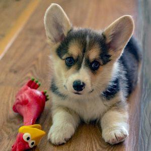 cachorro corgi galés con gallina de juguete
