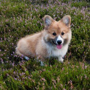 cachorro corgi galés en campo de lavanda