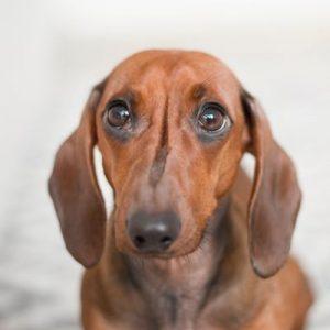 salchicha o dachshund rojizo con cara triste