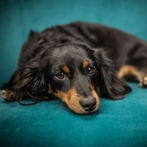 hermoso dachshund negro acostado en sofá verde