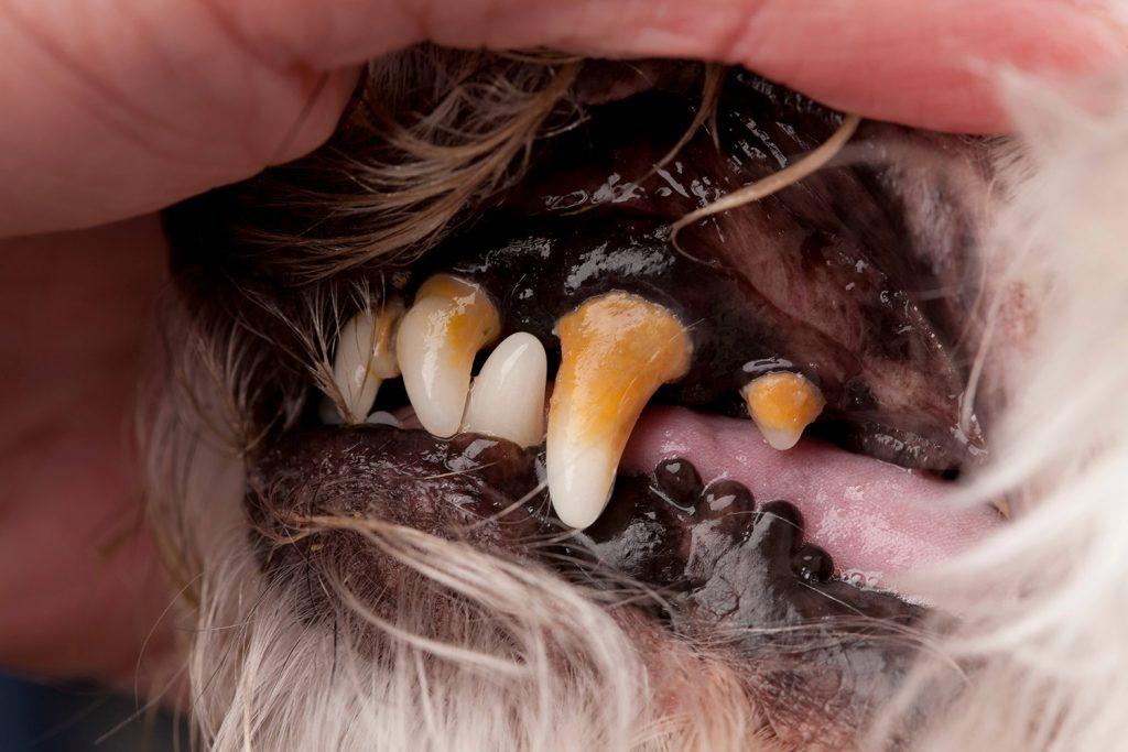 Dientes de perro con sarro