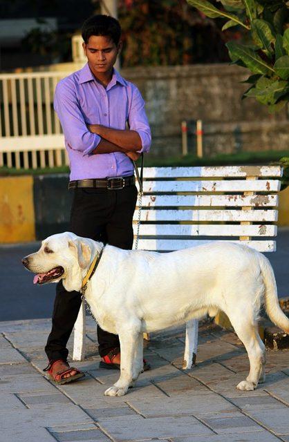 perro labrador paseando con su dueño