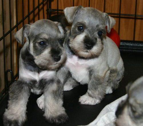 perros schnauzer bebés o cachorros de schnauzer en una jaula