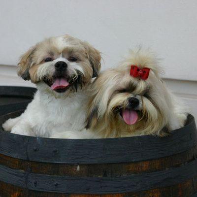 pareja de shih tzu en un barril