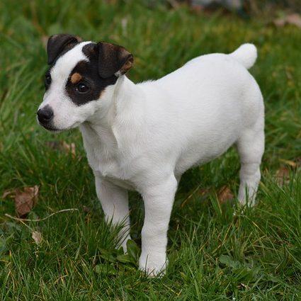 lindo cachorro de jack russell sobre grama