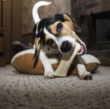 jack russell terrier mordiendo un hueso