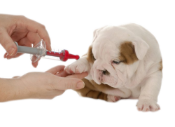 cachorro bulldog recibiendo vacuna