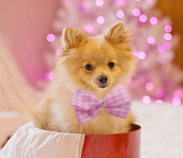 pomerania con lazo rosado dentro de caja roja de regalo