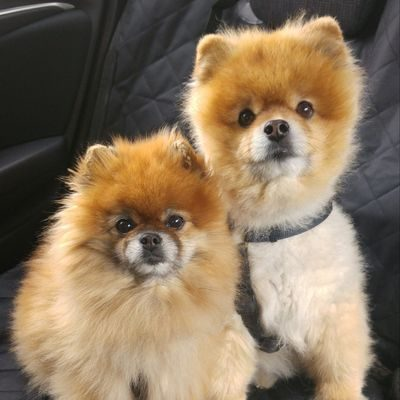 dos hermosos cachorros de pomerania o spitz enano alemán mirando