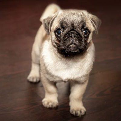 pug o carlino cachorro en piso madera