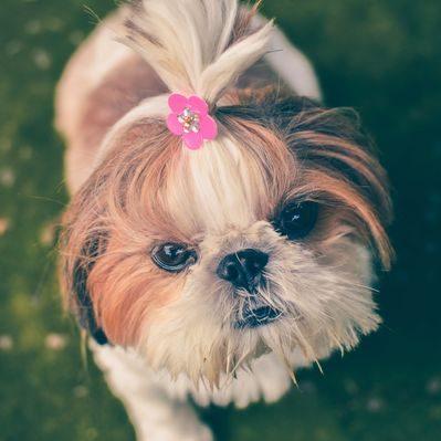 shih tzu cachoro con liga y flor