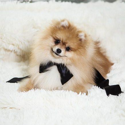 pomerania con lazo negro sobre algfombra blanca