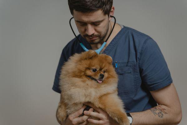 veterinario ausculta a pomerania marrón rojizo