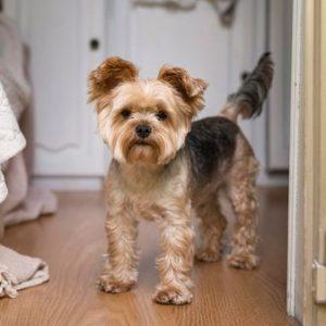yorkshire terrier marron parado en caravana