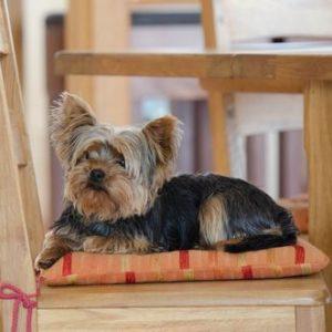 yorkshire terrier cachorro sentado en silla madera