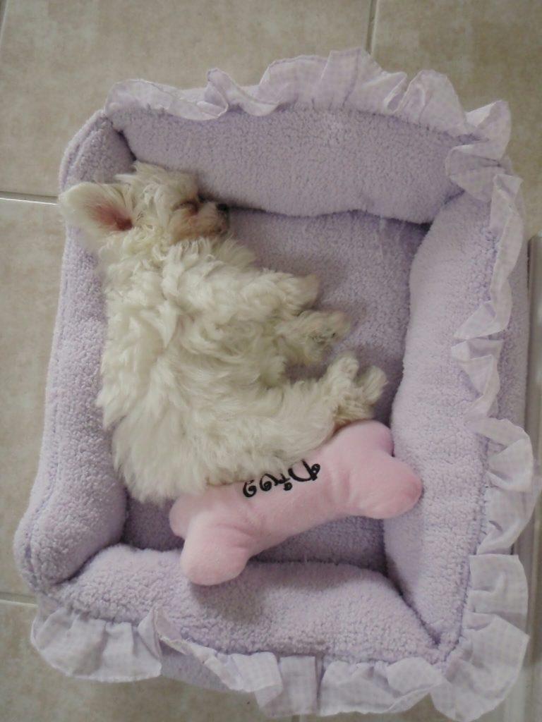maltés phoebe durmiendo en su cama