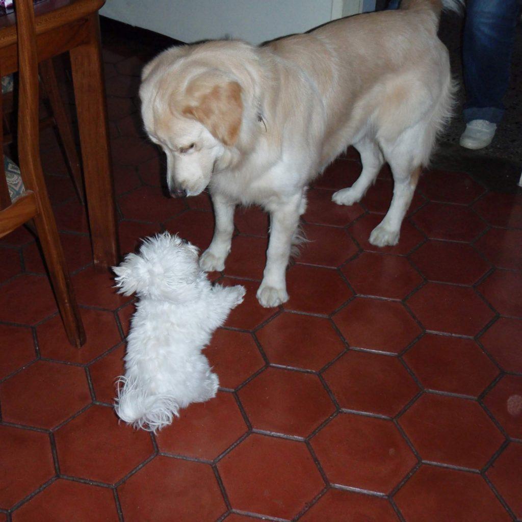 maltés juega con perro raza golden