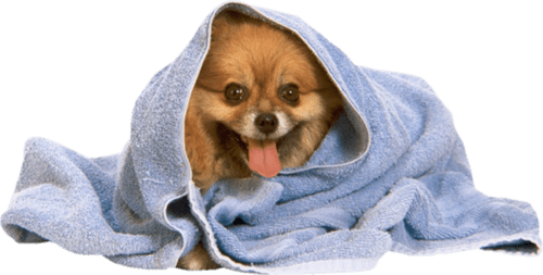 pomerania envuelto en toalla de baño