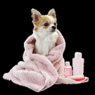 perrito chihuahua envuelto en toalla rosa