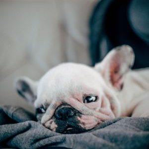 lindo cachorro de bulldog francés blanco acostado