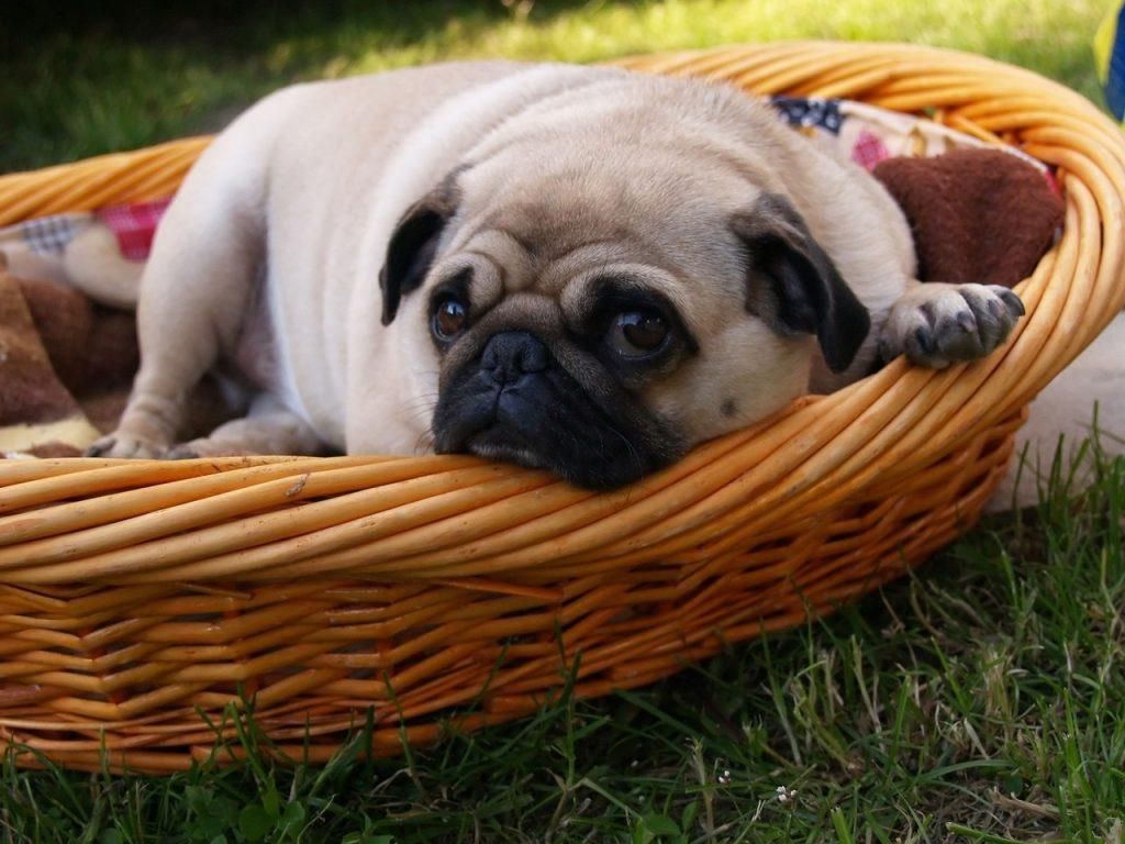 perro pug está dentro de una cesta de mimbre