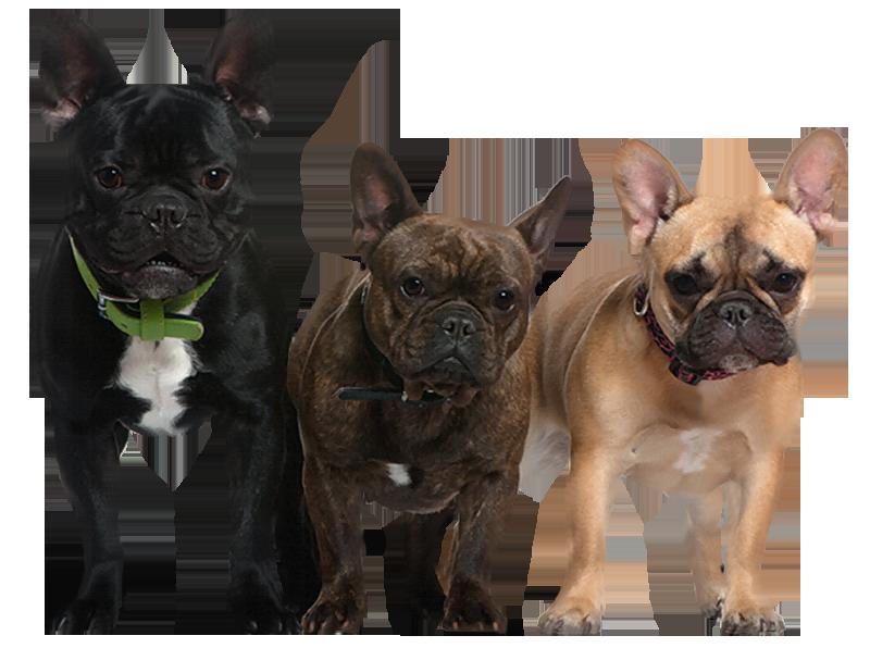 tres hermosos perros bulldog francés de distintos colores