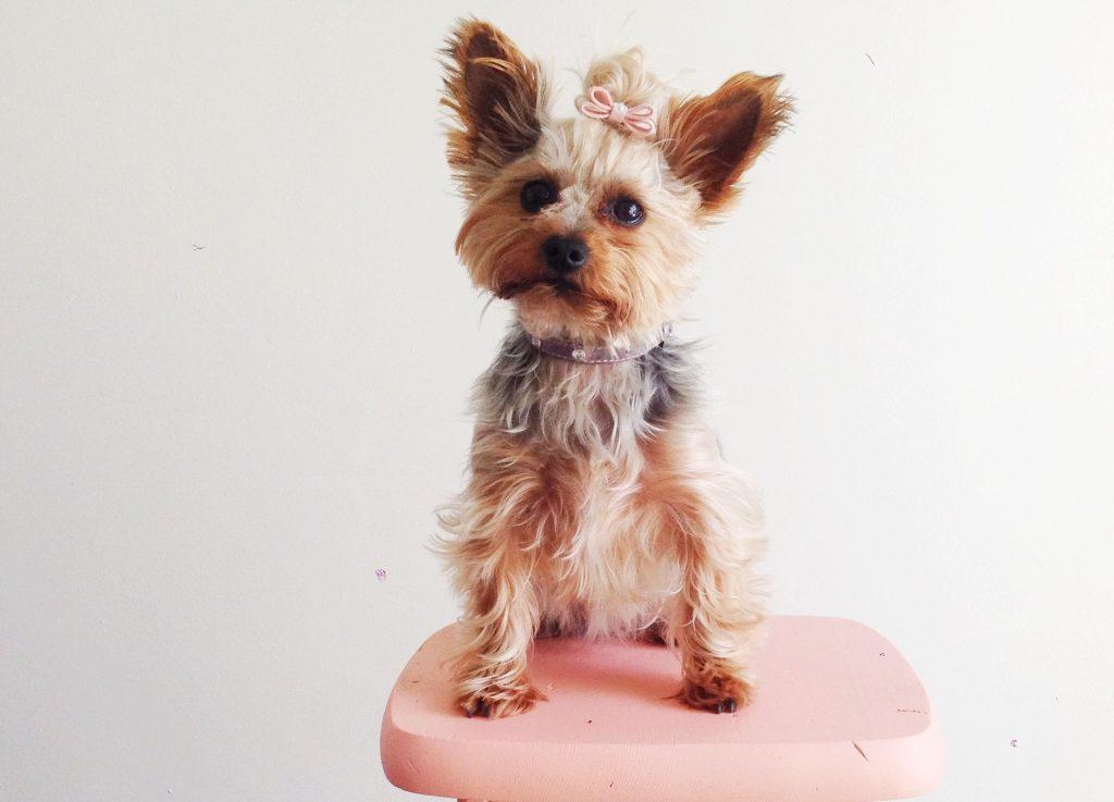 Cachorro Yorkshire Terrier sobre banqueta rosada