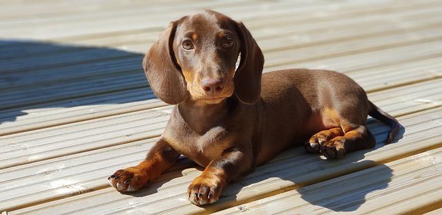 Cachorro de perro salchicha sobre piso de madera