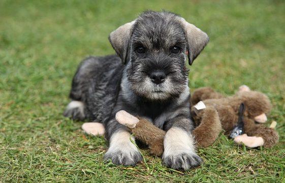 Cachorro Schnauzer con monito de peluche