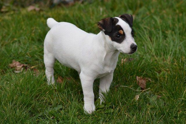 Cachorro Jack Terrier